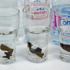 硬水と軟水では、がごめ根昆布から出る粘りが違います